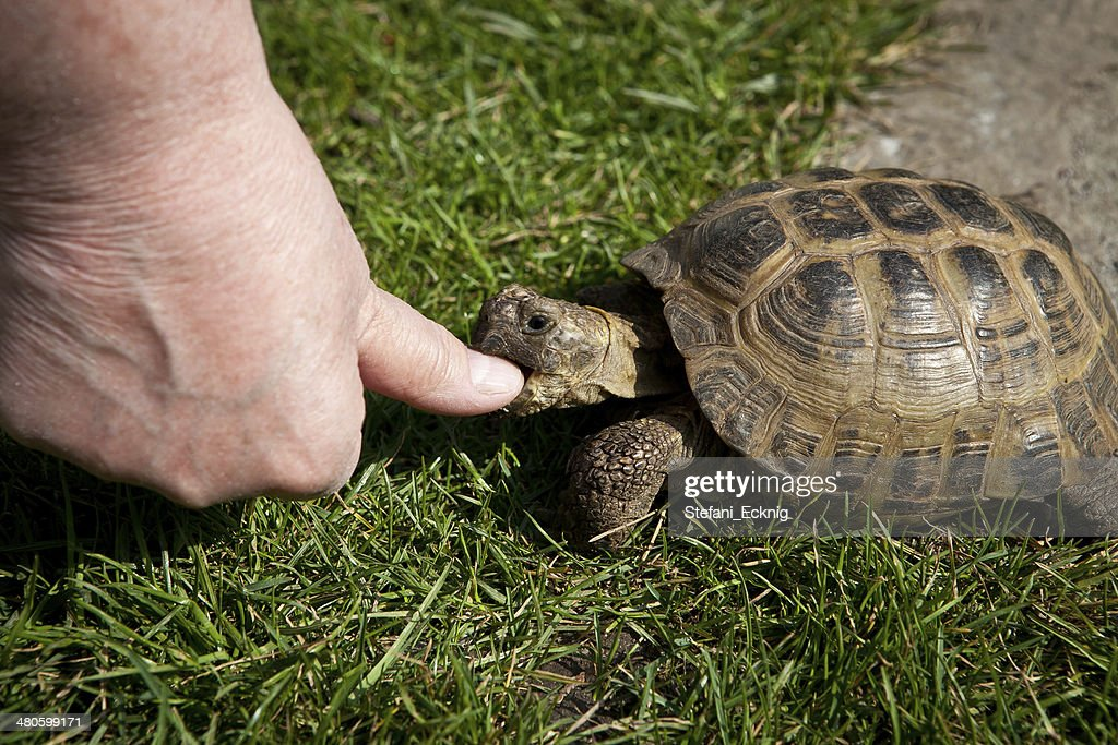 turtle to bite so in finger : Stock Photo