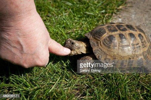 turtle to bite so in finger : Stock Photo