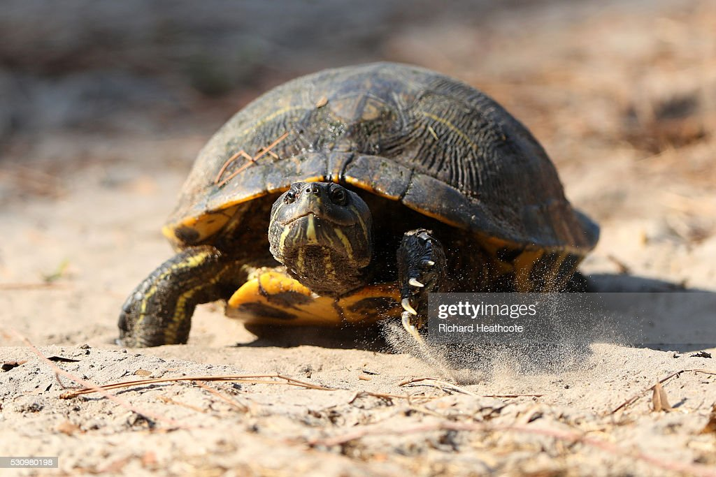 A Turtle walks through a waste area during the first round of THE PLAYERS Championship at the Stadium course at TPC Sawgrass on May 12, 2016 in Ponte Vedra Beach, Florida.
