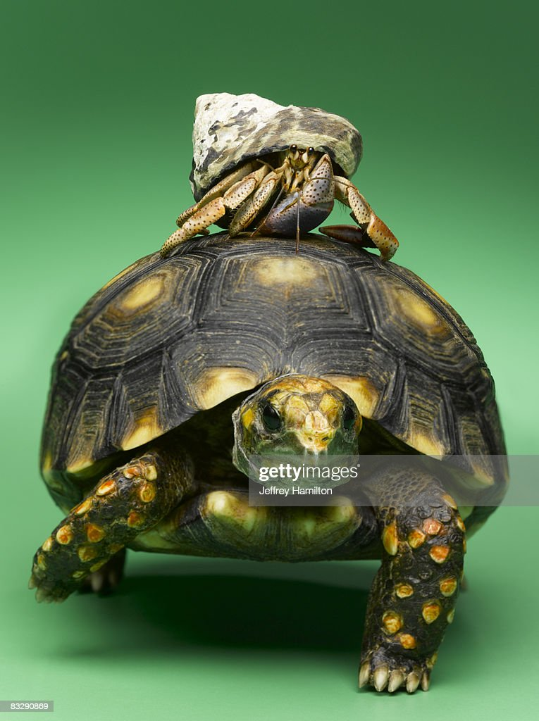 Turtle with hermit crab on back : Stock Photo