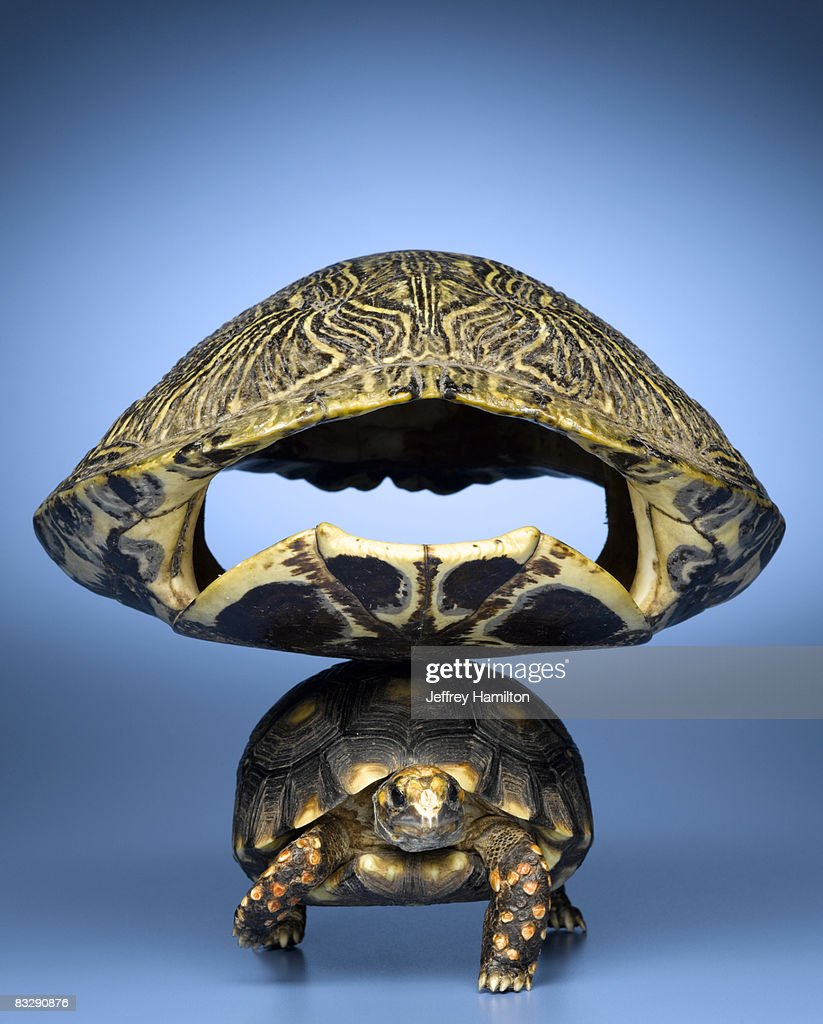 Turtle with larger shell on back : Stock Photo