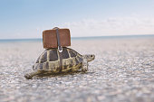Turtle with suitcase on a back. Toned image, selective focus.