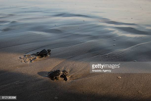 Turtles are seen during the Turtle release as part of the activities of the Mexican Open in the Princess Hotel in Acapulco Mexico on February 24 2016