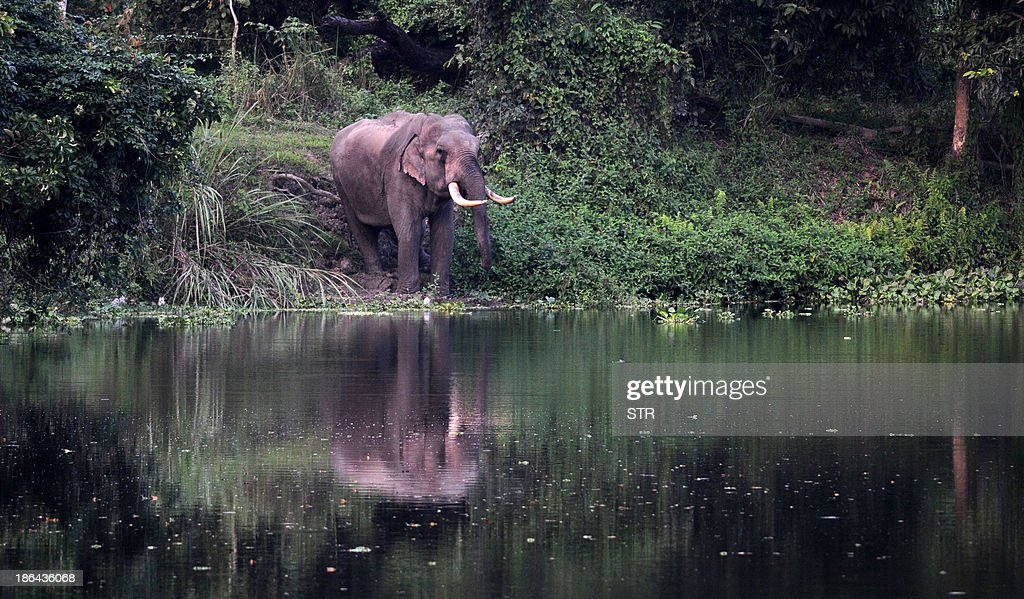 A tusker elephant stands near the water at the Kaziranga National Park, about 250 kms from Guwahati on October 31, 2013. The world famous Kaziranga National Park will be reopened for tourists from November 1, 2013. There are seventeen species of mammals, twenty three species of birds and ten species of reptiles which are on the endangered list in Kaziranga which has the worlds largest concentration of Indian one horned rhino. AFP PHOTO/Biju Boro