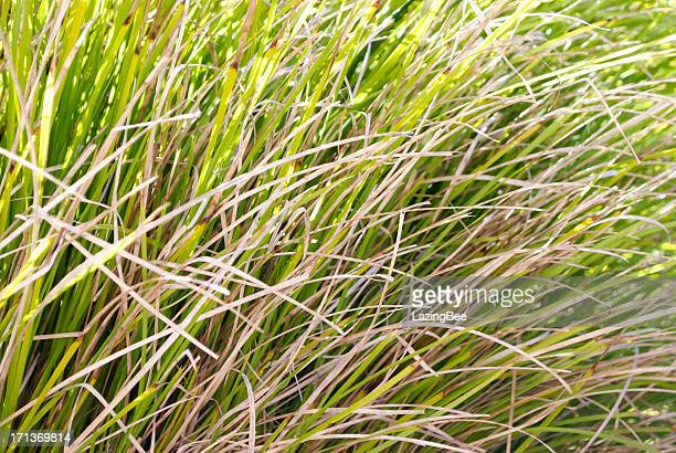 Tussock Grass Background