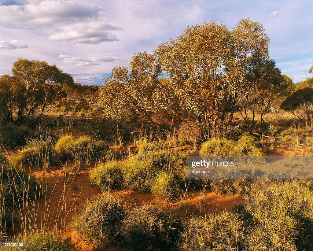 Tussocks of spinifex on mallee dunes and Narrowleaved red mallee Eucalyptus leptophylla Mungo National Park far western New South Wales Australia