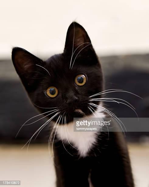 Tuxedo Kitten Stare
