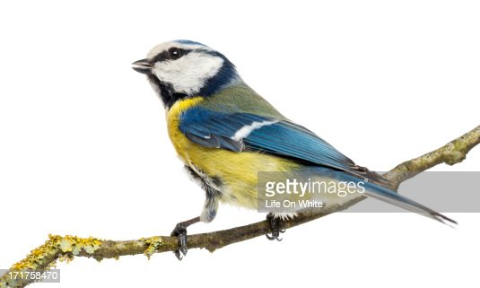 Tweeting Blue Tit perched, Cyanistes caeruleus