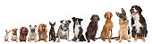 twelve dogs in a row. from small to large.on a white background