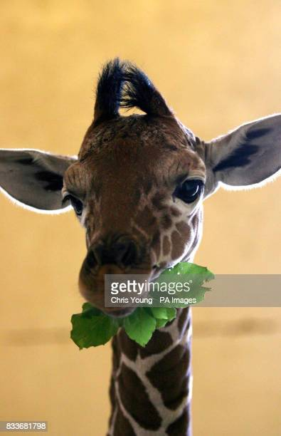 A twelvedayold reticulated giraffe enjoys a leafy snack at the Giraffe House in Whipsnade Wild Animal Park Bedfordshire