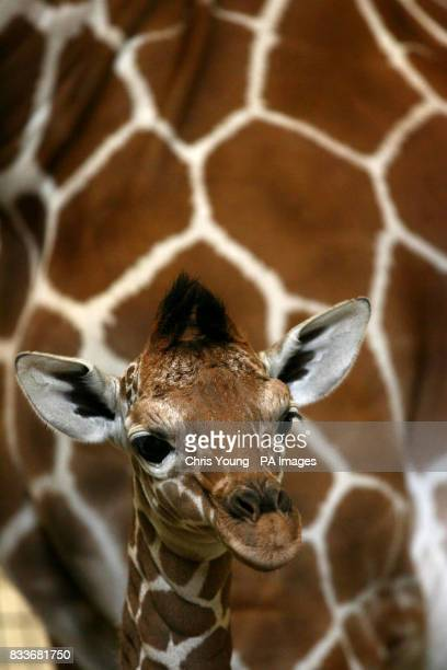 A twelvedayold reticulated giraffe is dwarfed by his mother at the Giraffe House in Whipsnade Wild Animal Park Bedfordshire