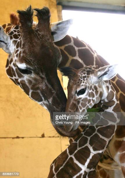 A twelvedayold reticulated giraffe shares a moment with his mother at the Giraffe House in Whipsnade Wild Animal Park Bedfordshire
