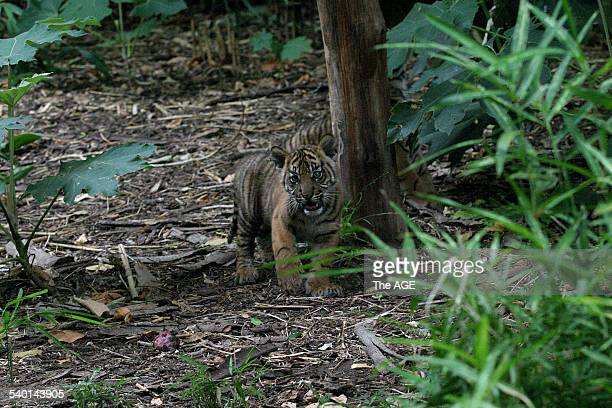A twelveweekold Sumatran tiger cub is released into its new exhibit area after receiving an injection vaccinating against cat flu and feline...