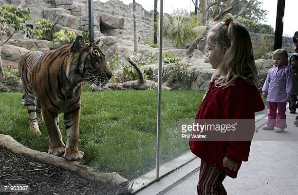 Twentymonthold Oz a Sumatran Tiger takes an interest in the public through the viewing glass of his new home at Auckland Zoo September 15 2006 in...