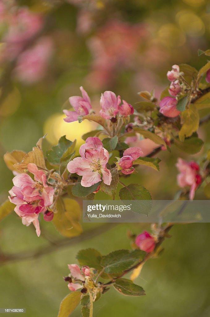 twig apple tree blossoms : Stock Photo