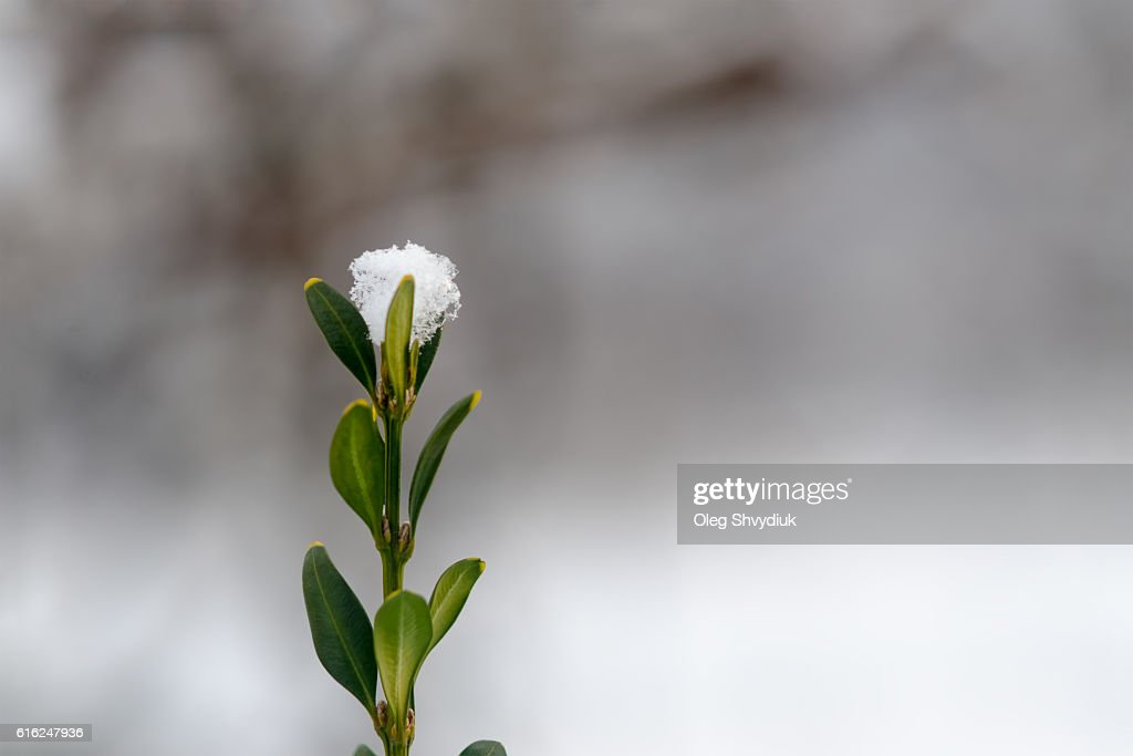 Twig covered with snow. Clean background. Space For Copy. : Stock-Foto
