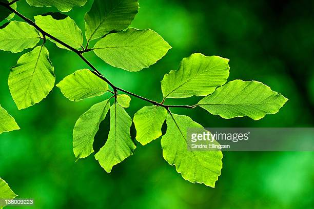 Twig of Beech with leaves