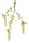 Twig of birch tree with leaves and catkins in front of white background