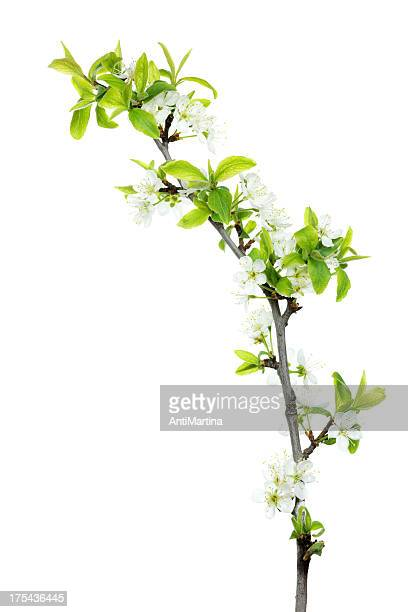 twig of cherry blossoms isolated on white