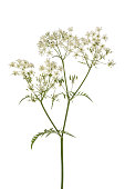 Twig of fresh cow parsley isolated on white background