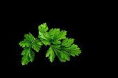 Twig of parslay.
