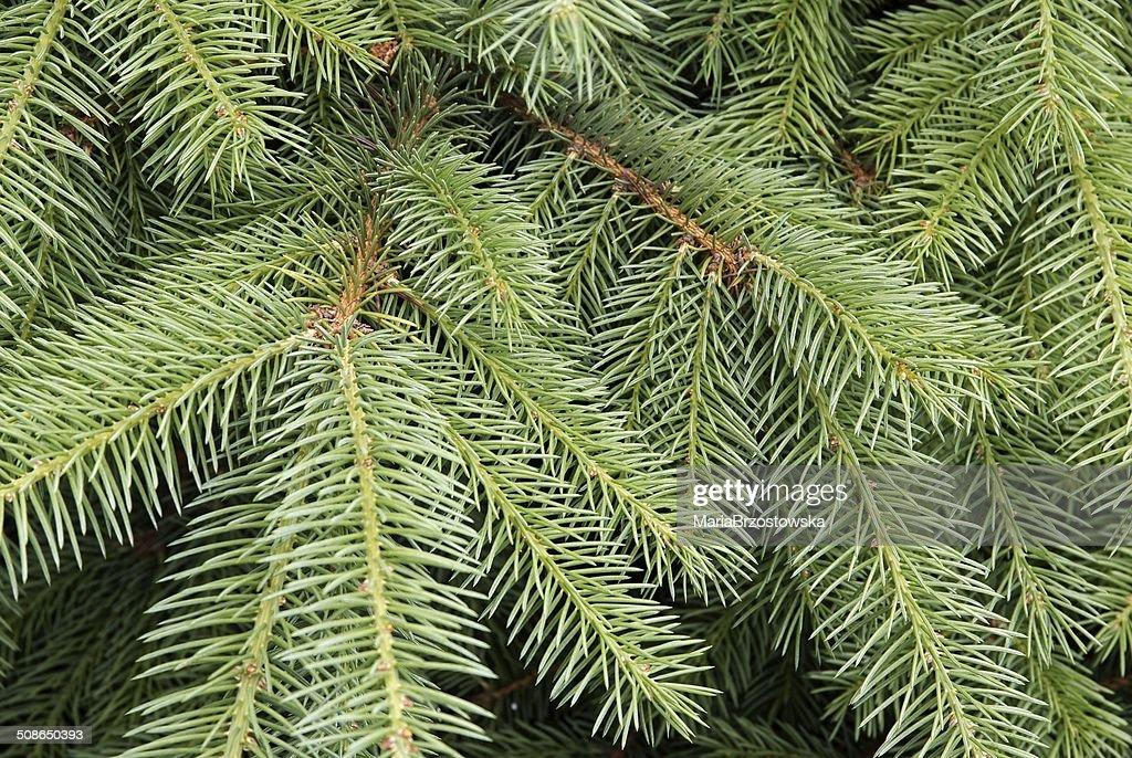 twigs of spruce tree : Stock Photo