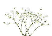 Twigs with flowers of Gypsophila isolated on white background.