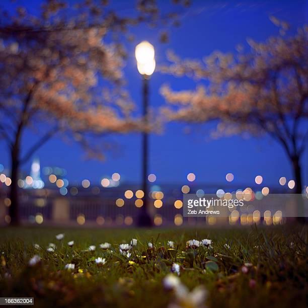 Twilight at the cherry tree park