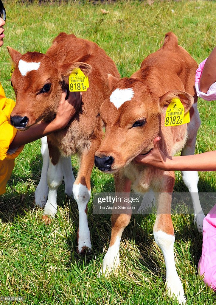 Twin baby cows with heart-shaped marking on their forehead are seen at Tokai University School of Agricalture on October 4, 2012 in Minamiaso, Kumamoto, Japan. The cows were born on September 21.