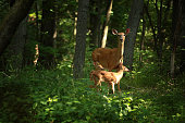 twin fawns wit mother