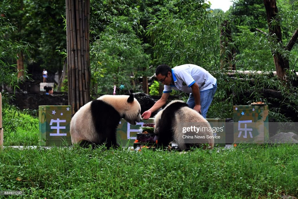 Twin giant pandas brother Bing Bing and younger sister Qing Qing enjoy a cake during their second birthday celebrations at the Dujiangyan base of the China Conservation and Research Center for Giant Pandas on August 18, 2017 in Chengdu, China.