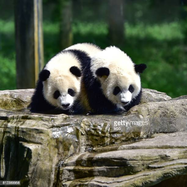 Twin giant pandas brother Yu Bao and younger sister Yu Bei play during their 1yearold birthday party at Chongqing Zoo on July 11 2017 in Chongqing...