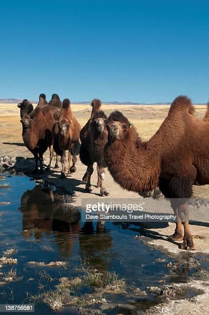 Twin humped bactrian camels in Gobi Desert