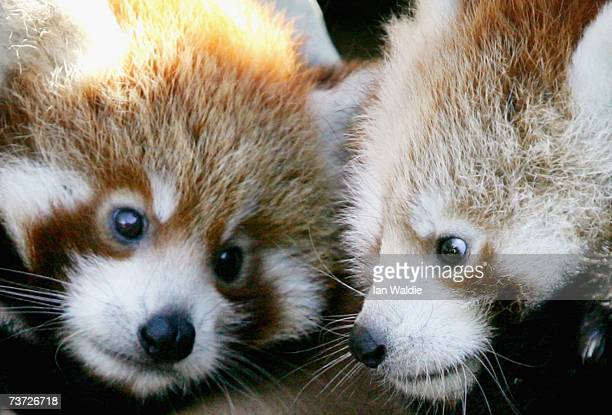 Twin twomonthold Red Panda cubs 'Tenzin' and 'Jishnu' make their debut at Taronga Zoo March 28 2007 in Sydney Australia The rare cub twins born in...