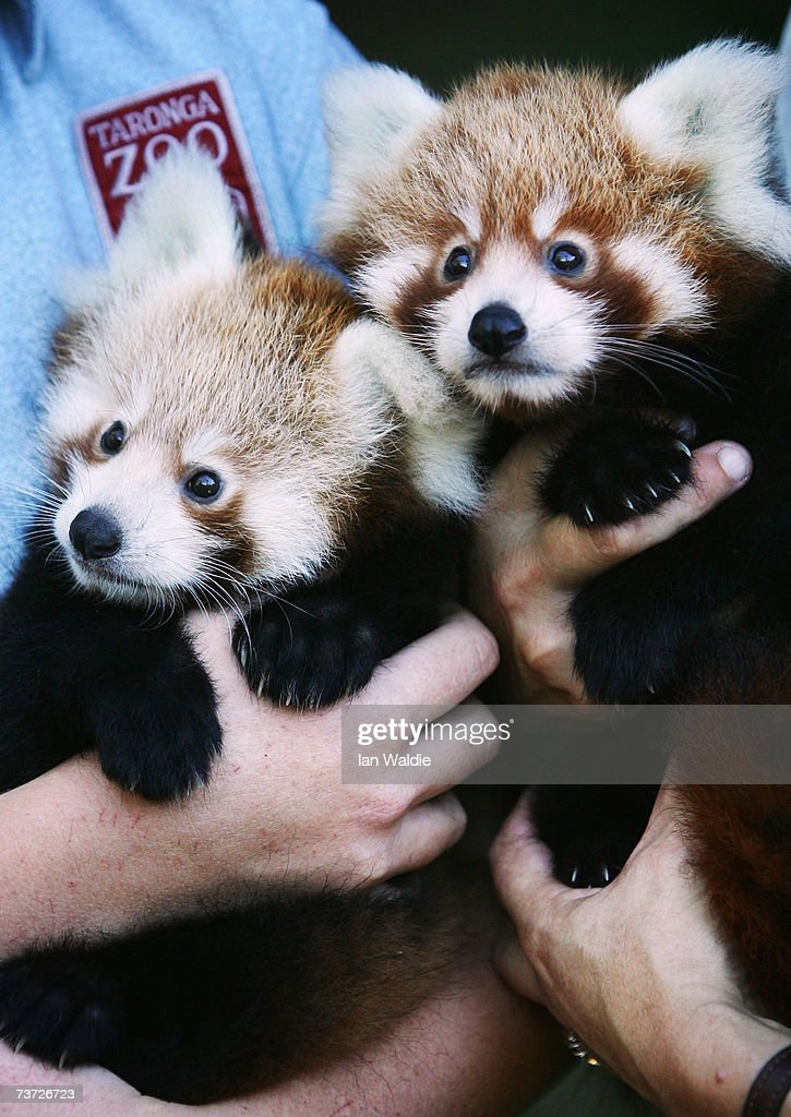 Twin two-month-old Red Panda cubs 'Tenzin' (R) and 'Jishnu' make their debut at Taronga Zoo March 28, 2007 in Sydney, Australia. The rare cub twins, born in January, have just begun to emerge from their nestbox. The Red Panda cubs are a result of the international breeding program for the endangered species, with Taronga Zoo producing 43 cubs since 1977.