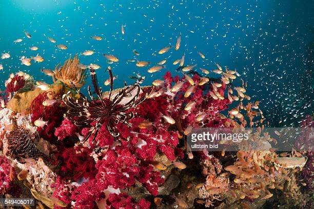 Twinspot Cardinalfish in Soft Corals Archamia biguttata Raja Ampat West Papua Indonesia