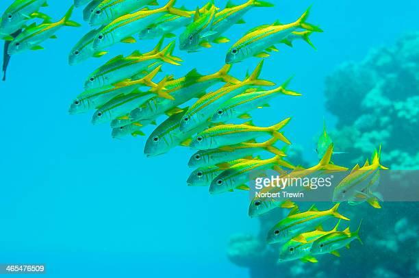Twinstripe Fusilier Red Sea