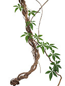 Twisted big jungle vines with leaves of wild morning glory liana plant isolated on white background, clipping path included.