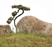 Twisted Bonsai Tree and Rocks