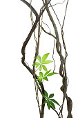 Twisted jungle vines with leaves of wild morning glory liana plant isolated on white background, clipping path included.