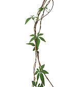 Twisted jungle vines with palmately leaves of wild morning glory liana plant isolated on white background, clipping path included.