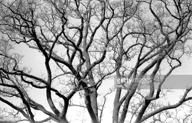 twisted alter Baum (Nahaufnahme