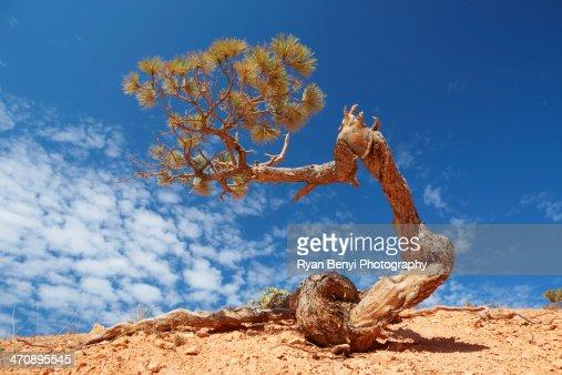 Twisted pine tree, Bryce Canyon National Park, Utah, USA : Stock Photo