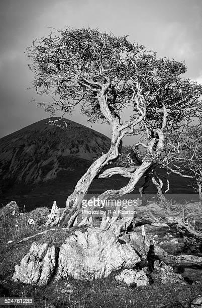 Twisty characterful Hawthorn tree, dramatic light