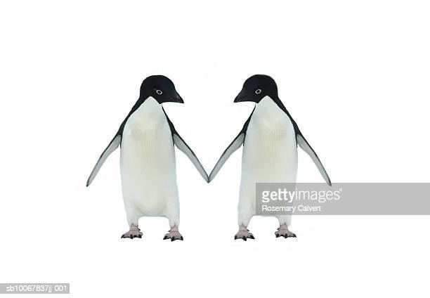 Two adelie penguins (pygoscelis adeliae) touching flippers on white background (digital composite)