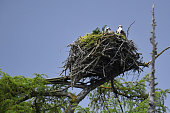 Two adult Ospreys sit in a nest at Loch Insh ON June 6 2016 in Kincraig Scotland Ospreys migrate each spring from Africa and nest in tall pine trees...