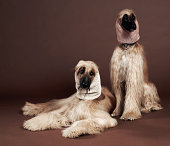 Two Afgan Hounds with headscarves, studio shot
