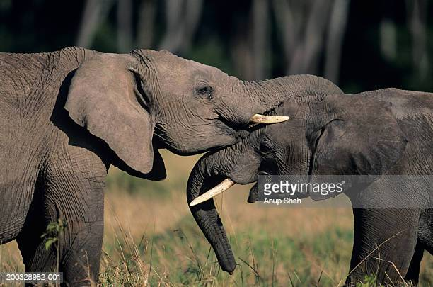 Two African elephants (Loxodonta africana), standing face to face, Kenya
