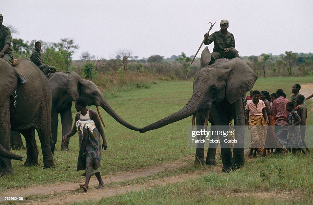 Two African elephants touch trunks while being ridden by trainers in Virunga National Park. These elephants are part of a training experiment in the park.