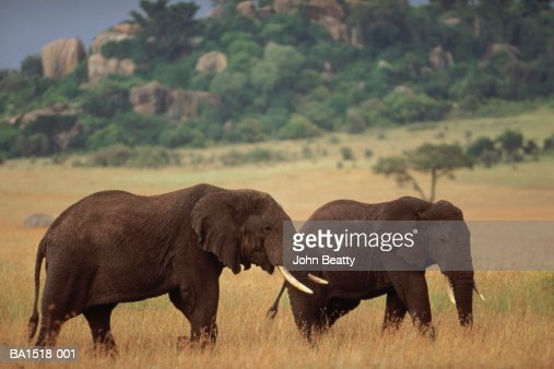 Two African elephants walking through grassland : Stock Photo